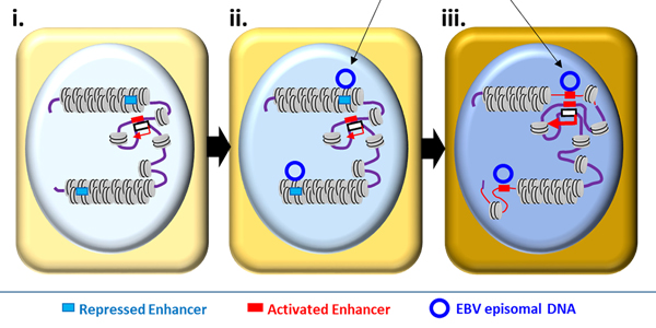 Schematic model of Epstein-Barr virus (EBV)